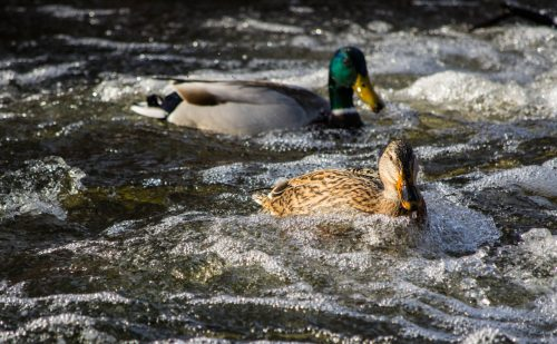 Wild ducks feeding in a river